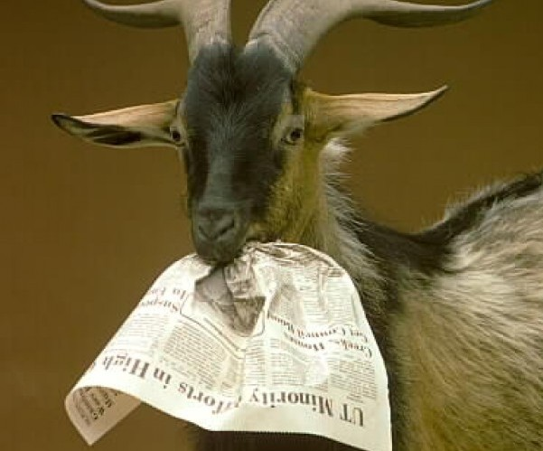 Goat Eating Newspaper