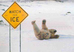 Polar-Bear-Falling