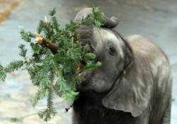 elephanteating