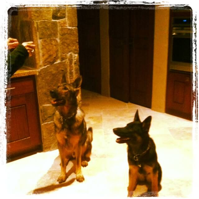 german shepherds begging for food