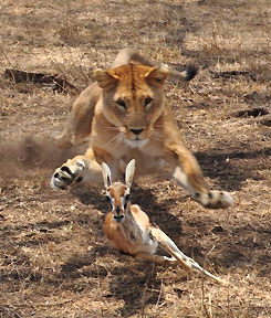 Lion chasing a gazelle