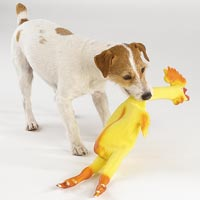dog chewing on rubber chicken