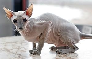 Hairless cat that looks sad