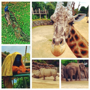Auckland Zoo with peacocks giraffes orangutangs hipps and elephants