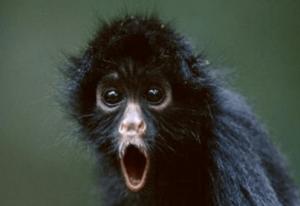 Shocked Monkey