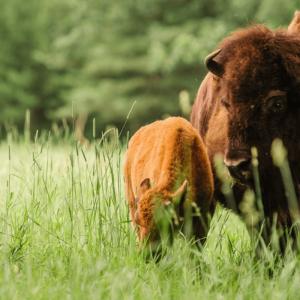 The-Honest-Bison