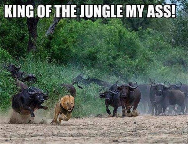 cape buffalo lion