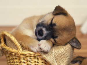 Adorable Sleeping Puppy