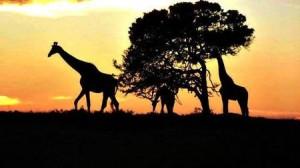 Giraffes on Kariega Conservation Reserve