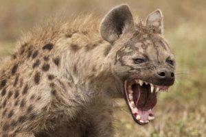 angry hyena