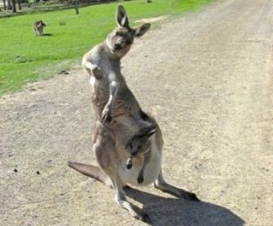 Kangaroo that is tipsy