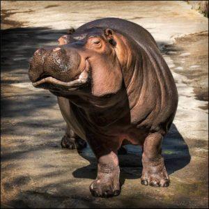 hippo-posing