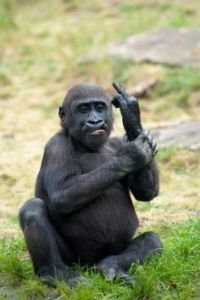 Monkey giving the middle finger