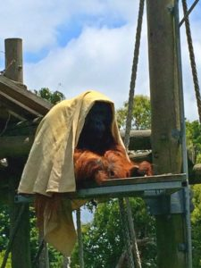 Orangutan in New Zealand Zoo - Auckland