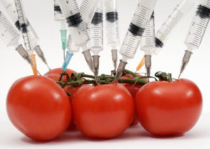 GMO-Tomatoes