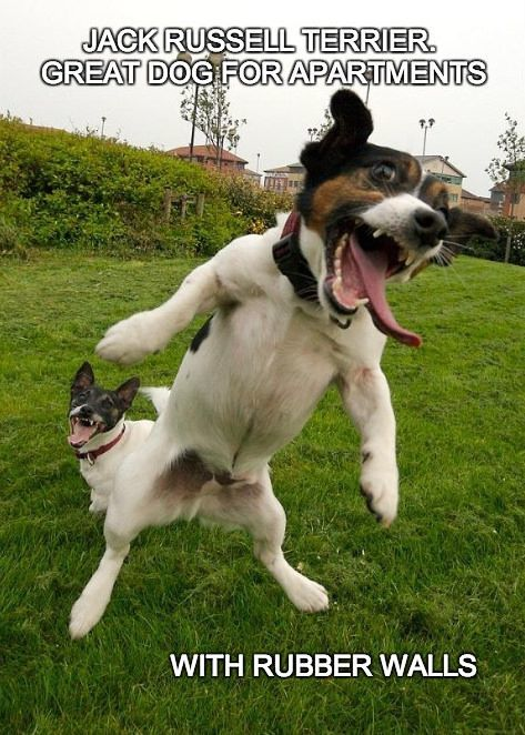 jack-russell-terrier-crazy