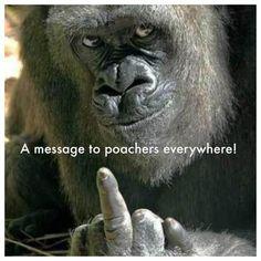 gorilla poacher