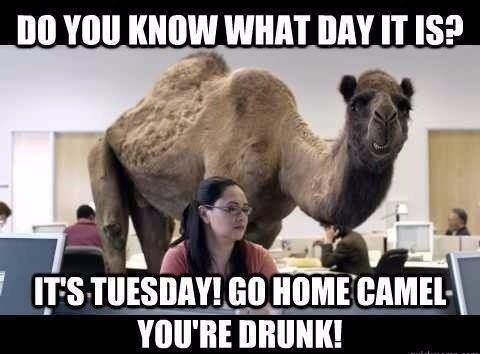 camel drunk humpday