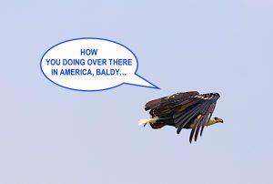 african fish eagle bald eagle