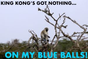black face blue ball monkey africa