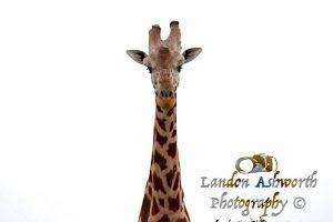 landon ashworth giraffe photography africa